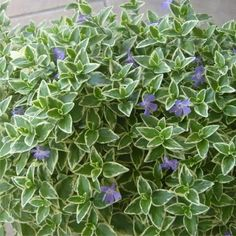 Vinca Major - variegated ( periwinkle) Shade Perennials, Types Of Soil, Drought Tolerant, Periwinkle, Garden Planning, Blue Flowers, Plants, Oasis, Outdoor Living