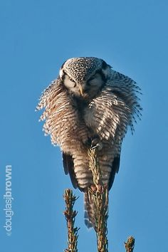 Northern Hawk Owl (Surnia ulula)  by Douglas  Brown