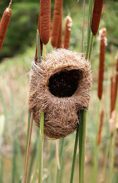 Thick-billed Weaver Nest in the reeds. photo by 'cowyeow'