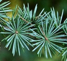 Kigi Nursery - Cedrus atlantica ' Glauca ' Blue Atlas Cedar, $20.00 (http://www.kiginursery.com/cedrus-atlantica-glauca-blue-atlas-cedar/)
