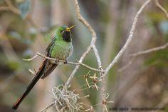 mis fotos de aves: Picaflor cometa [Sappho sparganurus] Red-tailed comet