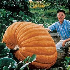 130 days. Here it is, the gigantic pumpkin that holds the world's record for size (1,810 pounds!) If you want to grow the pumpkin of your dreams, Dill's Atlantic Giant is the variety you must grow!It's easy to grow 400- to 500-pound golden-orange fruits with this amazing variety. Rough-skinned and beautifully ribbed, the pumpkins just keep going and going at an astonishing rate. You've got to try it for yourself!Pumpkins are exceptionally easy to grow, given adequate space and patience! Sow…