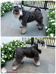 Today Ratty to Regal was visited by Kendrick a 2 years young Miniature Schnauzer 🐶  Full Groom. Website: https://rattytoregal.wixsite.com/rattytoregal Facebook: https://www.facebook.com/rattytoregal/