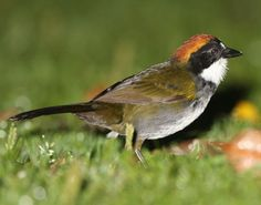 Chestnut-capped Brush Finch, family Emberizidae: central MX to SE Peru