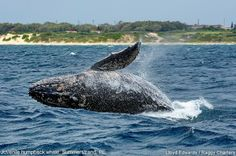 Photos of Whales, Dolphins, Sea Birds around Port Elizabeth Cool Countries, Countries Of The World, Primates, Mammals, Knysna, Port Elizabeth, Kwazulu Natal, Sea Birds, Whale Watching