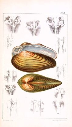 Vintage seashell print. Bivalves. llustration of the Conchology of Great Britain and Ireland, title page. Engravings by W.H. Lizars. vintageprintable.com/wordpress/