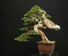 Juniper Bonsai, Ikebana, Bonsai Trees, Painting, Beautiful, Pots, Gardening, Inspiration, Ideas