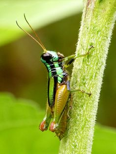 GRASSHOPPER: a plant-eating insect with long hind legs which are used for jumping and for producing a chirping sound, frequenting grassy places and low vegetation.