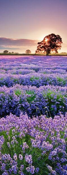 Sunrise over the lavender field • photo: AdamMajchrzak on deviantart