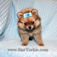 26 Best Teacup Puppies For Sale Images Cute Baby Dogs Cute Dogs