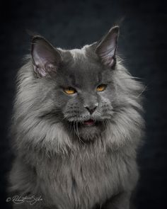 Los gatos 'maine coon' forman la raza de felinos domesticados más grandes del mundo. De hecho hay quien los relaciona con los linces y, cuando los ves, entiendes el por qué.    Según la wikipedia se cuenta