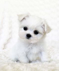 cute teacup puppies We have beautiful and tiny Teacup and Micro mini sized Tea Puppies for sale in California! I searched for this on Micro Teacup Puppies, Maltese Puppies For Sale, Mini Puppies, Maltese Dogs, Small Puppies, Cute Puppies, Dogs And Puppies, Teacup Maltese Puppies, Tiny Puppies For Sale
