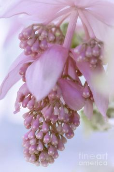 Rose Grapes (melastoma f. medinilla magnifica), an exotic Malaysian orchid by Julie Palencia
