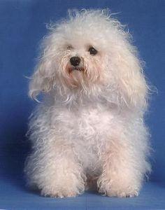 Bolognese Puppies, Bichon Bolognese, Dog Lover Gifts, Dog Lovers, Coton De Tulear, Malteser, Havanese, Bichon Frise, Doggies
