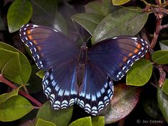 Photographs from Nature - Butterfly Gallery  Red Spotted Purple, Limenitis arthemis astyanax, Uniontown, Ohio    All Photographs © Jay Cossey