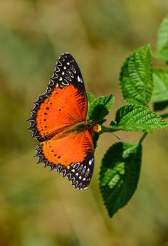 Red Lacewing (Cethosia biblis) Turmeric - uncommon - medium