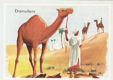 DROMADAIRE Dromedary CHAMEAU CAMEL CAMELUS TYLOPODE  AFRIQUE AFRICA IMAGE 1963