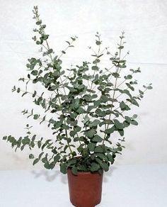 1000 images about eucalyptus plants on pinterest silver dollar plants and terrarium. Black Bedroom Furniture Sets. Home Design Ideas