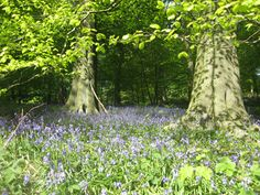 English wood carpeted in bluebells