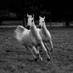 Grey Arabians. Mother and Daughter
