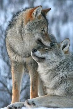 Wolf love-Just the Two of Us. Wolf Spirit, Spirit Animal, Wolf Pictures, Animal Pictures, Beautiful Creatures, Animals Beautiful, Tier Wolf, Animals And Pets, Cute Animals
