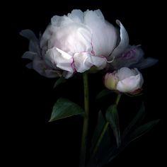 la pivoine, la plus jolie des fleurs