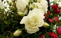 Rose-Iceberg ~ This is the climbing version of Iceberg – a shrub variety is also available. This flowers profusely and has a light honey scent. It's a very strong variety~ ♡♥♡