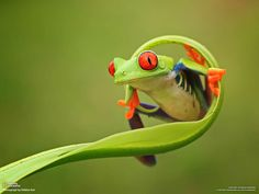 Shikhei Goh is a macro photography addict who lives in Singapore.Check out 10 Most Magnificent Macro Photography Examples By Shikhei Goh. Frog Wallpaper, Animal Wallpaper, Wallpaper Pictures, Computer Wallpaper, Funny Frogs, Cute Frogs, Nature Animals, Animals And Pets, Cute Animals