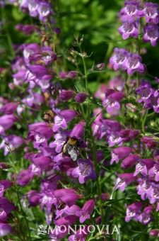 Monrovia's Pikes Peak Purple® Penstemon details and information. Learn more about Monrovia plants and best practices for best possible plant performance.