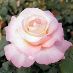 ROSE  Ars Rating 7.7 Ppaf Zone 5  Flowers: Creamy white, blushing soft pink  Blooms: Continuous - sets buds and blooms throughout the season Fragrance: Strong honeysuckle and rose   Hybrid Tea Roses have long stems topped  by a single, large, beautifully developed bloom  Ideal for cutting and fresh arrangements Features Fragrant Cut Flower Long Bloomer Sun Exposure Full Sun Flower Colors Pink White Mixed Foliage Colors Green Foliage Height 4-5'  Spread (Width) 3-4' #hybridtearosespink