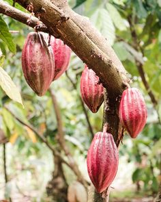 Growing Vegetables, Fruits And Vegetables, Bean Varieties, Cacao Beans, Death By Chocolate, Exotic Flowers, Tropical Plants, Natural Wonders, Cocoa