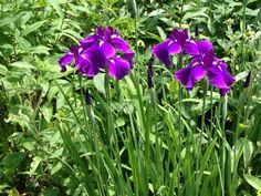 Iris from my garden