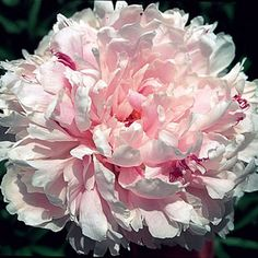 Peony 'Sarah Bernhardt' is a classic, very fragrant, fully double Peony with frilly pink blooms in early summer.