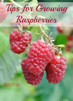 Tips for Growing Raspberries, including how to plant raspberries, how to grow raspberries in containers, and how to harvest and divide raspberries.