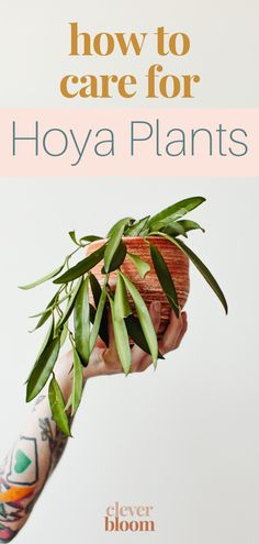 Learn how to care for your Hoya plant. Everything you'll need to know from light, to soil, and how to water. Clever Bloom #hoya #houseplants Hoya Plants, Plant Care, Indoor Plants, Bloom, Inside Plants
