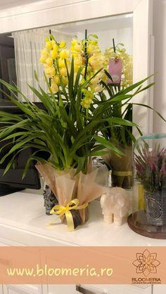Minunata orhidee Cymbidium!🌾 Numele #cymbidium provine din cuvantul grecesc#kymbe, care inseamna barca si e legat de forma florii.  Daca doriti o planta delicata, care se ingrijeste cu usurinta, atunci Orhideea Cymbidium poate fi o alegere foarte buna. Pentru comenzi 📞 0769 655 182 #orhidee #planteinghiveci #yellowflowers #orhideeinghiveci #homedecoration #homesweethome #bucuresti #floristlife #livramflori #livramzambete #livramiubire #welcometotheworldofflowers #bloomeria