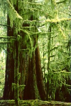 Ancient Red Cedars (biggest trees are 800 years old) Cathedral Grove, Vancouver Island, BC, Canada