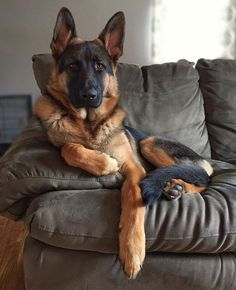 Wicked Training Your German Shepherd Dog Ideas. Mind Blowing Training Your German Shepherd Dog Ideas. German Shepherd Photos, German Shepherd Puppies, German Shepherds, Big Dogs, I Love Dogs, Dogs And Puppies, Dog Activities, Working Dogs, Beautiful Dogs