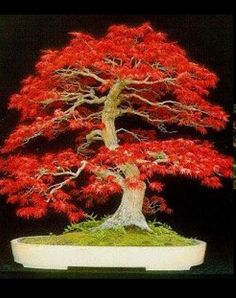 Potted mini maple tree prizes for games