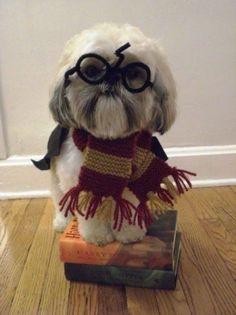 Harry Potter Shih Tzu this needs to happen. You're furry Harry. Harry Potter Pets, Harry Potter Dog Costume, Chien Halloween, Dog Halloween, Halloween Books, Happy Halloween, Perro Shih Tzu, Shih Tzu Puppy, Funny Animals