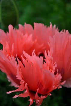 Salmon Colored Fringed Tulip