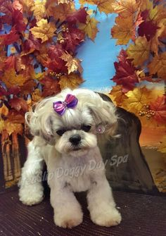Dynah the Shih Tzu/Bichon mix in Asian style grooming.