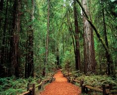 Armstrong's Grove (The Redwood Forest) in sonoma county, Ca