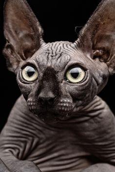 fabforgottennobility:  Sphynx cat by Patrick Matte on Flickr.