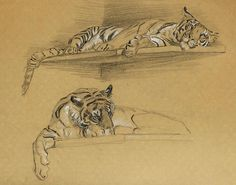 Tigers by Raymond Sheppard (British, The last 5 are illustrations of Man-eaters of Kumaon by Jim Corbett. Animal Sketches, Animal Drawings, Art Sketches, Drawing Poses, Cat Drawing, Cat Anatomy, Nature Sketch, Tiger Art, Illustration Art