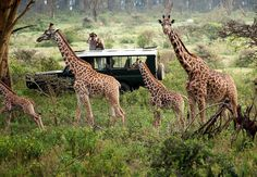 The giraffe is an African even-toed ungulate mammal, the tallest living terrestrial animal and the largest ruminant. Its species name refers to its camel-like shape and its leopard-like colouring Courtesy of ROLIQUEEN TOURS AND TRAVEL………… EXPERIENCE THE ELEGANCE………….. For more information/booking, please get in touch with us- Tel:+254202670209 +254722852857 +254734358620 Email:info@roliqueentours.com Web:www.roliqueentours.com Facebook page: https://www.facebook.com/travelroliqueen
