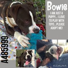 09/21/15-SUPER URGENT -   Pit a Boo Yesterday · Edited ·     BOWIE #A485999 (URGENT! HE WAS DUE OUT 9/8) Sweet boy with so much to life still. Please don't wait too long. He is weeks overdue. He will be next on euth list. Maria Sanchez pictures. I am an unaltered male, black and white Pit Bull Terrier mix.  Shelter staff think I am about 1 year old.  I have been at the shelter since Sep 01, 2015. For more information about this animal, call: San Bernardino City Animal Control at (909)…