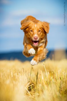 Nova Scotia Duck Tolling Retriever - Photograph Action! by Christine Hemlep on 500px