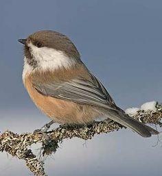 Lapintiainen, Parus cinctus - Linnut - LuontoPortti