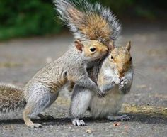 Fox squirrel types live throughout a lot of the USA, leaving out the eastern coastline. It is the biggest sort of squirrel varying from 17 to 27 inches long.